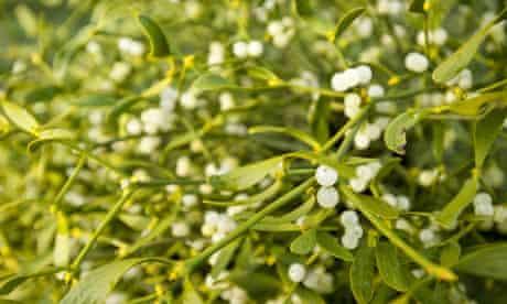 Campaign to save mistletoe