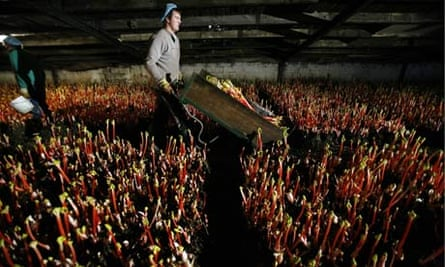 Forced Yorkshire rhubarb being harvested