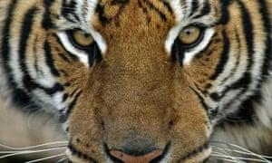 Rare Siberian tiger