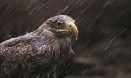 A white-tailed eagle