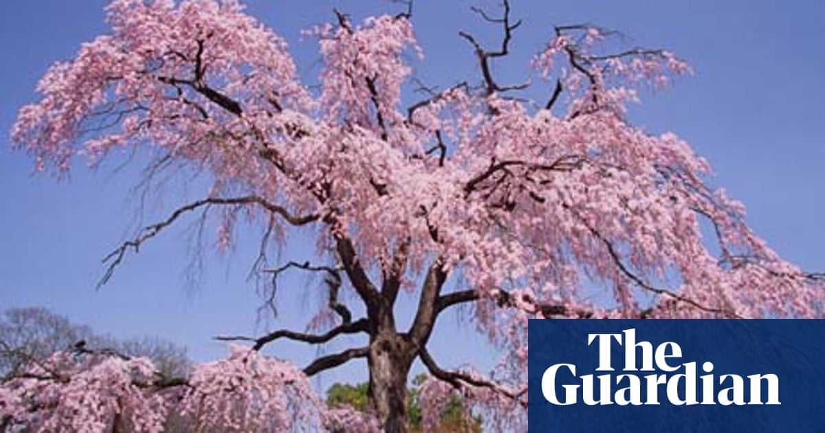 Gardens Pick Of The Cherries Life And Style The Guardian