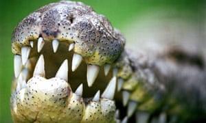 Crocodile similar to the one found in an Australian pool