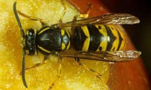 Wasp (Vespula vulgaris) on damaged apple