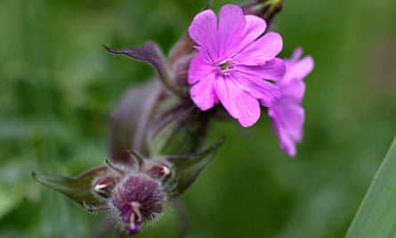 Red Campion.