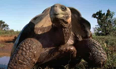 Giant tortoise numbers are rising on the island of Española