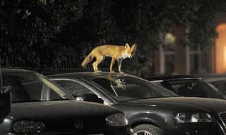 An urban fox in London, 2009
