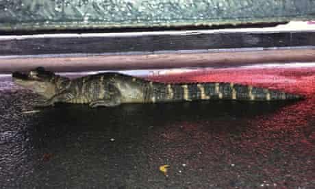 The alligator found in New York by Joyce Hackett