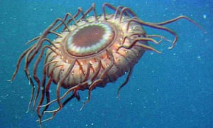 A deep-sea jellyfish