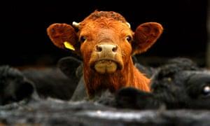 Cloned cow milk