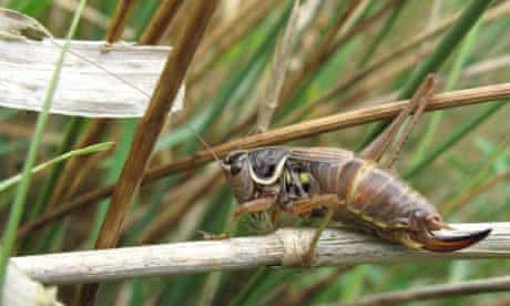 Female Roesel's bush cricket in Rockland St Mary.