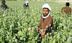 Opium poppies in Afghanistan