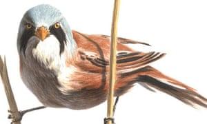 bearded tit for birdwatch