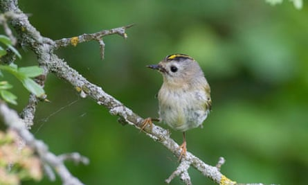 Goldcrest birdwatch