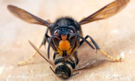 An Asian hornet feasting on a honey bee