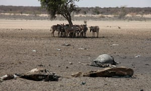 Carcasses of cattle killed by drought in Horn of Africa