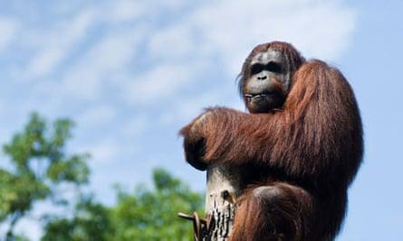 Borneo male orangutan Wandoo