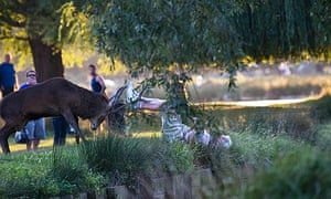 A man is knocked down by a stag in Bushy Park, during rutting season.