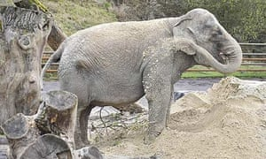 Anne the elephant at her new home – Longleat safari park.