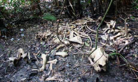 The bones of a Javan rhino