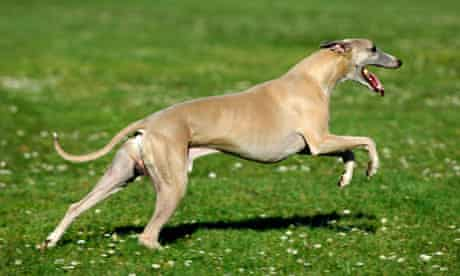 A whippet on the prowl