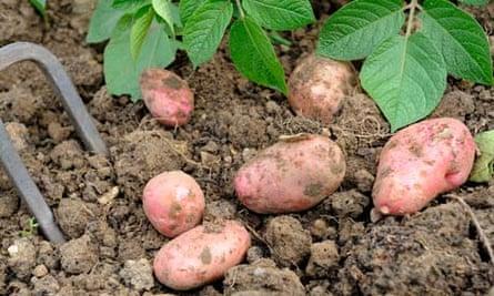 Sarpo potatoes