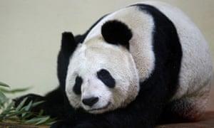 Edinburgh Zoo panda Tian tian aka Sweetie