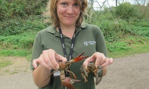 A virile (right) and a signal crayfish (left) are held by Inger Jennings of the Environment Agency