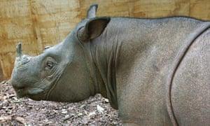 Puntung, a Sumatran rhino