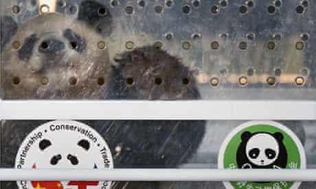 Chinese Pandas Tian Tian and Yang Guang Arrive In The UK