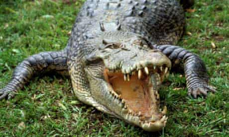 A saltwater crocodile, Northern Territory, Australia