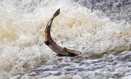 A wild salmon attempts to swim upstream to spawn in Selkirk, Scotland.