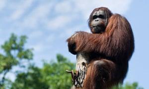 Borneo male orang-utan Wandoo