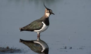 A lapwing wades in shallow water.