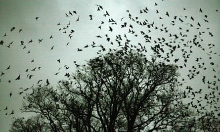 Rooks and jackdaws gather for their evening roost on Buckenham Marshes, Norfolk.