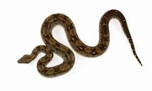 A boa constrictor