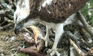 Lady feeding in her nest on the banks of the Loch of the Lowes