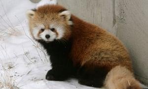 Su lin, a red panda cub in Valley Zoo, Edmonton, Canada