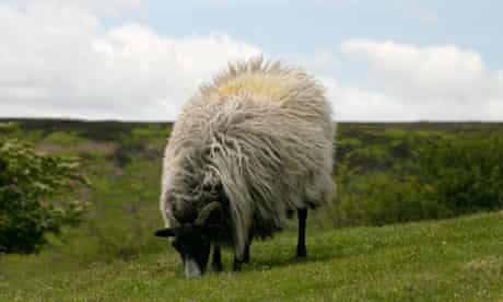 A sheep enjoys the grass on the North Yorkshire Moors.