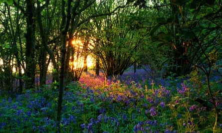 Bluebells lit by the setting sun over Rutland Water