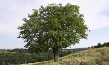 Walnut tree (Juglans regia) Sussex