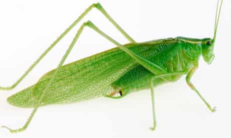 The great green grasshopper