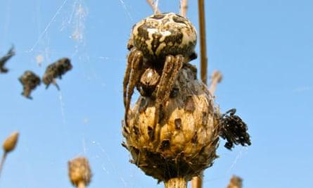 Furrow Orbweb Spider Larinioides cornutus in her charnel house
