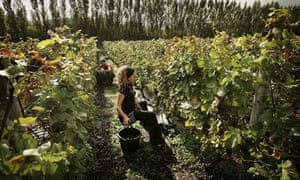 Picking grape harvest at Nyetimber vineyard in Sussex