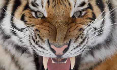 A Siberian tiger growls at the St-Felicien Wildlife zoo