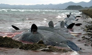 Beached Whales Washed Ashore in Japan