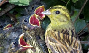Corn Bunting and chicks