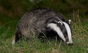 Badger foraging at dusk