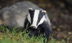 Badger cull decision