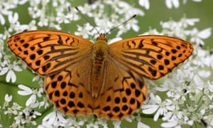 A silver-washed fritillary butterfly feeding.