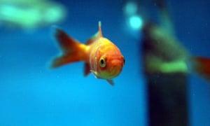 Goldfish swims in an aquarium